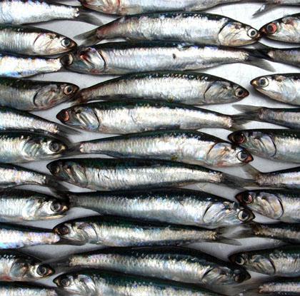 sardina-peruana-1